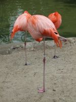 Flamingoes 2 by dtf-stock