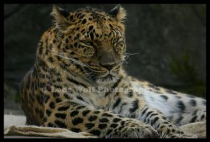 Amur Leopard 003 by LoneWolfPhotography
