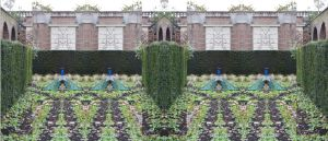 A Peacock Parting Of The Ways In A Parterre by aegiandyad