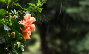 Hibiscus in the rain by sztewe