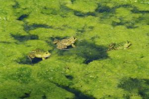 Frogs by friedapi