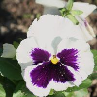 white pansy by ingeline-art