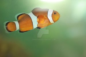 NEMO our clownfish by vahistha