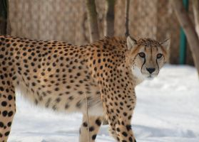 Cheetah in Snow I by tleach0608