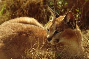Caracal by decolesse