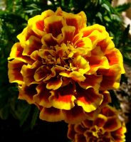 Marigold... by MissSpocks