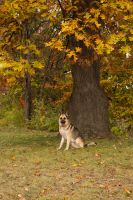 Autumn with my German Shepherd by elvaniel