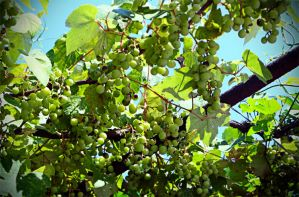 Grapes by maoos