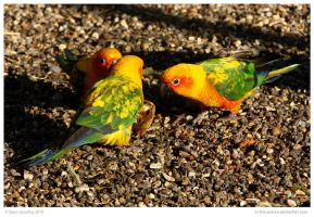 Sun Conures Trio by In-the-picture