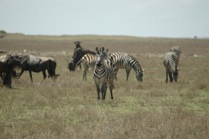 Zebras and Gnu 4 by CosmicStock