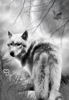 The White Wolf by havizpm
