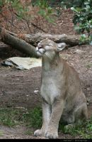 NCZoo: Cougar 2 by techfire6