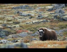 muskox I by moem-photography