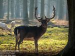 Beautiful Stag in a foggy forest - Germany 2017 by AngelOfDarkness089