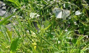 Cabbage Butterfly by thenameisplissken