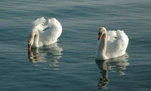 Stock - Swan 3 by Cleonor