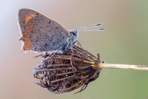 small copper butterfly by zgrkrmblr