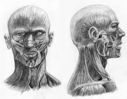 Muscles of the Head by arvalis