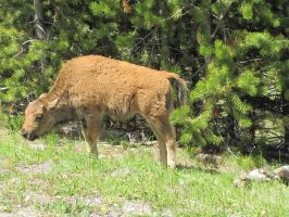Baby Bison - 2 by JLAT1990