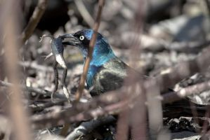 Grackle with a meal by PrimalOrB
