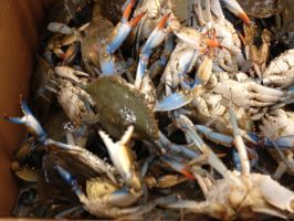 Blue crabs by SiVousCroyez