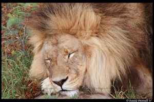 Sleepy Lion by TVD-Photography