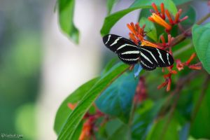 Zebra longwing butterfly on firebush by CyclicalCore