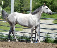 Grey quarter horse slow walk by equustock