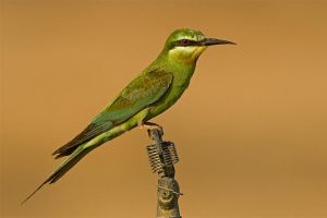 Blue- cheecked Bee-eater by Jamie-MacArthur