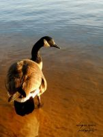 Goose III by AleighaRawr