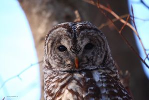 Barred Owl II by natureguy