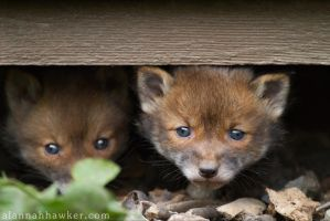 Fox Cub  2012-1 by Alannah-Hawker