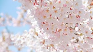 widescreen wallpaper pink blossom by illusionality