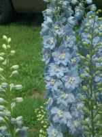Start from seeds delphinium by WolverineGuardian