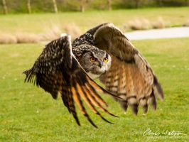 European Eagle Owl in flight by chriswatsonphotograp