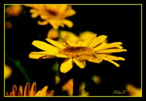 black and yellow by tiquitiqui