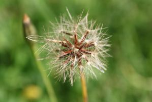 small dandylion by tap69