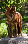 The Dhole by PictureByPali