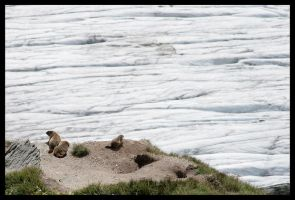 Marmots by Bandit83