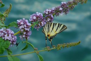 Butterfly Bush by organicvision