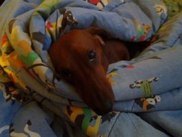 Cooper the Dachshund by GUDRUN355