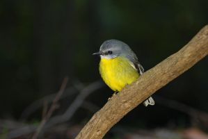 Yellow Robin 3 by Dryad-8