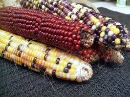 Indian Corn by DoctorTonyStarkWho