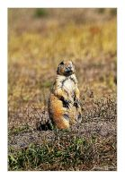 Prairie Dog I by Julian-Bunker