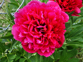 PeonyTRPP095 by skwonk-stock