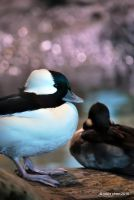 Bufflehead Bokeh by meihua