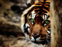 Shy Sumatran Tiger Wallpaper by MoonsongWolf