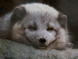 arctic fox by photom17