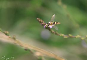 Very small wasp on verbena flower by oxalysa