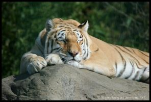 Sleeping Tiger by Migratory